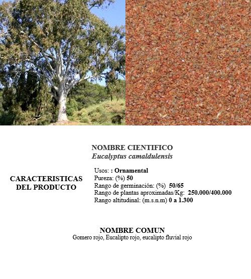eucalipto camaldulensis