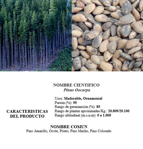 pino Oocarpa