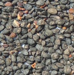 eucalipto_globulus