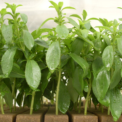 stevia_plantulas