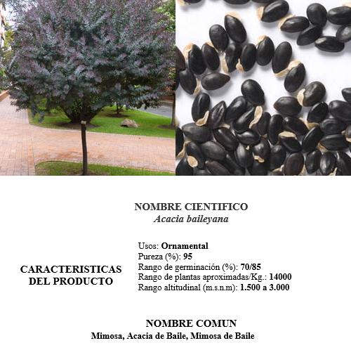 acacia morada