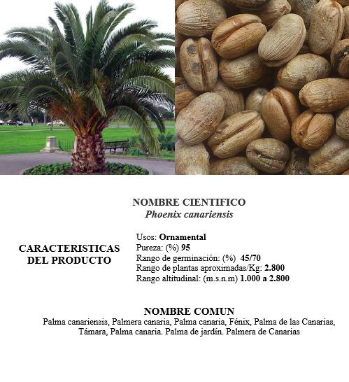 palma canariensis