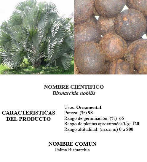 Palma Bismarckia | Semillas CampoSeeds - Venta de semillas